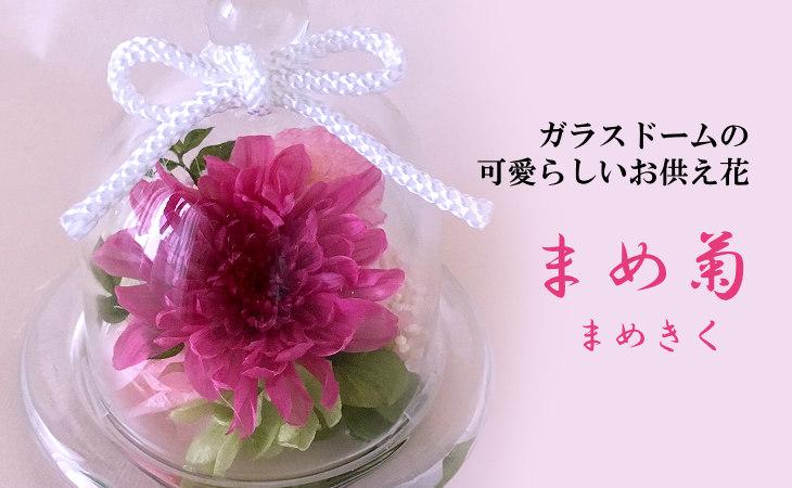 まめ菊(ピンク)